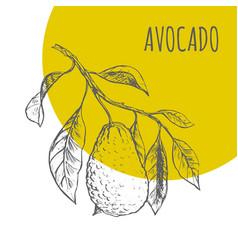 Avocado fruit botanical sketch plant vector