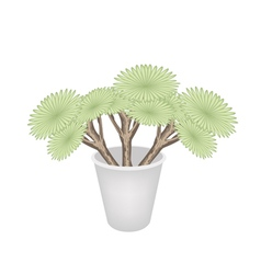 Beautiful Dragon Trees in A Flower Pot vector image vector image