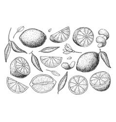hand drawn lime or lemon set vector image