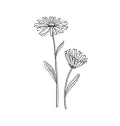 Drawing pot marigold vector