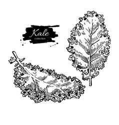 Kale hand drawn set Vegetable engraved vector image vector image