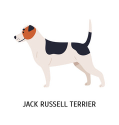 jack russell terrier lovely dog hunting breed vector image