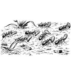 polyergus amazon ants vector image