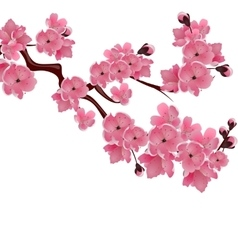 Flowering Japanese cherry Sprig of pink sakura vector image vector image