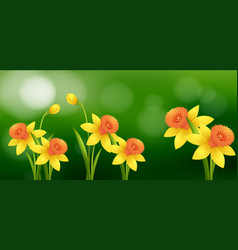 Daffodil flowers with blur background vector