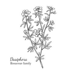 Ink dasiphora hand drawn sketch vector image