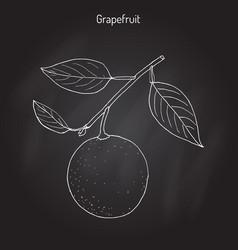 grapefruit citrus paradisi subtropical citrus vector image