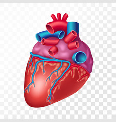 realistic human heart isolated on transparent vector image