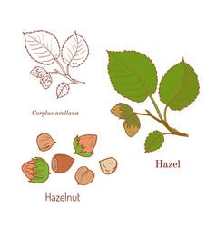 hand drawn hazelnut branch vector image