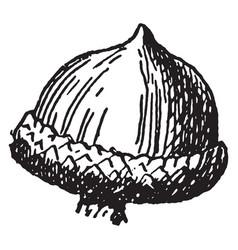Willow oak acorn vintage vector