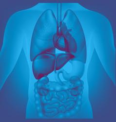 human internal organs vector image