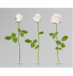 Realistic white rose set three 3d roses on vector