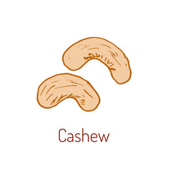 Cashew nut hand drawn vector