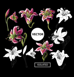 lilies flowers isolated on a black background vector image