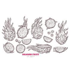 dragon fruit sketch set vector image