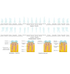 Permanent teeth vector