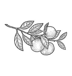 Mandarin orange sketch vector