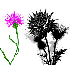 Milk thistle flowers isolated on white background vector