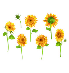 set of sunflower plant isolated on white vector image vector image