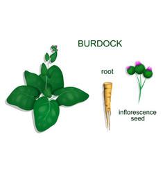 burdock vector image