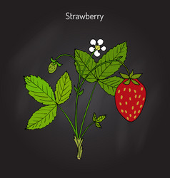 garden strawberry fragaria ananassa vector image