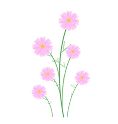 Light Pink Cosmos Flowers on White Background vector