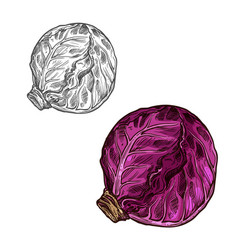 Red cabbage sketch vegetable icon vector
