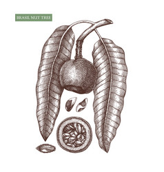 brazil nut tree hand drawn food drawing vector image