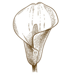 engraving of calla flower vector image