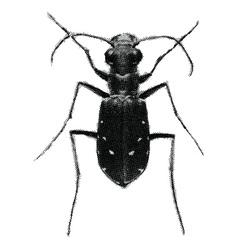 green tiger beetle cicindela campestris vector image
