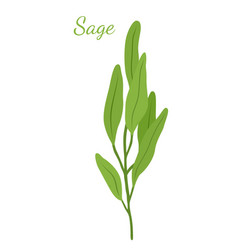 sage leaves salvia organic herb vector image