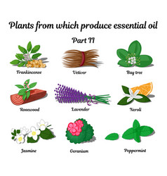 Plants from which produce essential oils part 2 vector