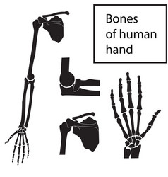 set of of human hand bones vector image
