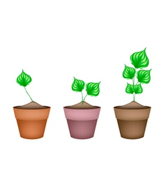 Green Wildbetal Leafbush in Ceramic Flower Pots vector