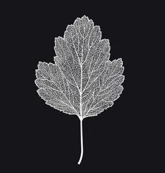 Skeletonized leaf of a hawthorn on a black vector