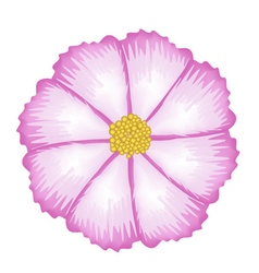 Fuchsia and white cosmos flower vector