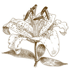 engraving of lily vector image vector image
