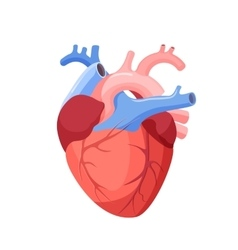 Anatomical Heart Isolated Muscular Organ in Human vector