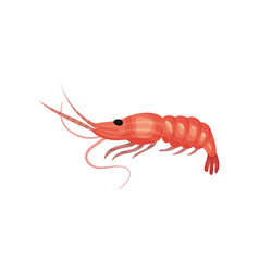 big fresh prawn with long claws boiled shrimp vector image