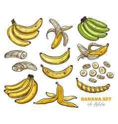 sketch bananas various set vector image