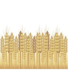 yellow wheat on a white background vector image