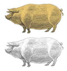 Pig or swine in vintage engraved style vector image
