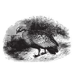 Cereopsis goose vintage vector