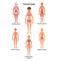 female body human anatomy skeletal and muscular vector image vector image