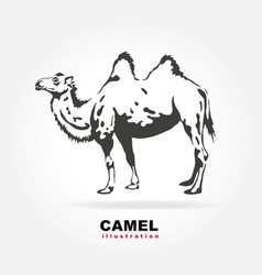 Bactrian camel vector