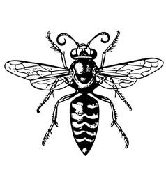 Wasp bembex vector