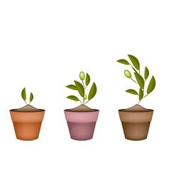 Three Olives Tree in Ceramic Flower Pots vector image vector image