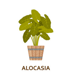 Alocasia decorative houseplant in pot florist vector