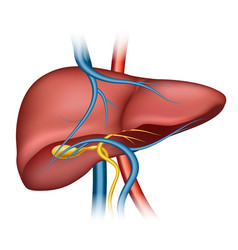 Human liver structure vector
