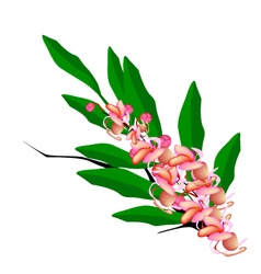 Pink Cassia Fistula Flower on White Background vector